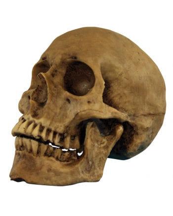 Realistic skull polyresin