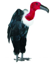 Vulture with Red Beek
