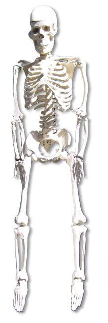 Anatomie Skelett 80 cm